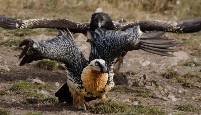Prepirineo - Berrea y Aves Rapaces