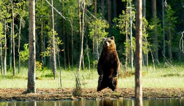 Viaje a Finlandia. Fotográfico. En busca del Oso Pardo