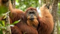 Viaje a Indonesia. Orangutan Trek