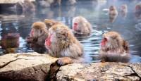 Viaje a Japón. En Grupo. Monos en la nieve