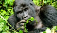 Viaje a Uganda. Puente de Diciembre. Los últimos gorilas de montaña en grupo acompañados pro Fernando Román