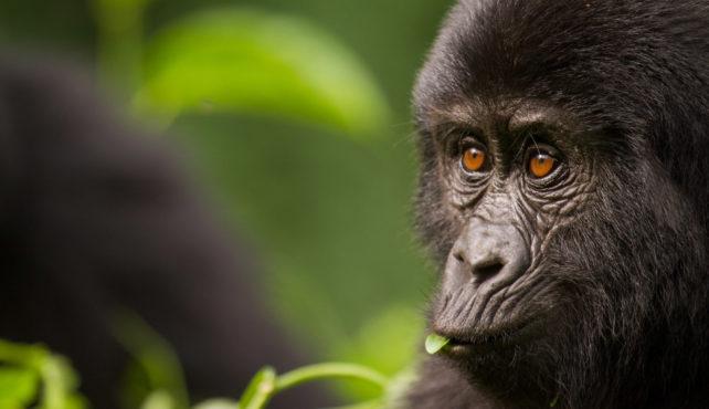 Viaje a Uganda. Semana Santa. En Camión. Los últimos gorilas de montaña. Gorila Trek 13 días